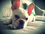 Harley the Frenchie